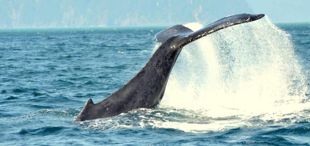 1-Alaska-Whale-Tail