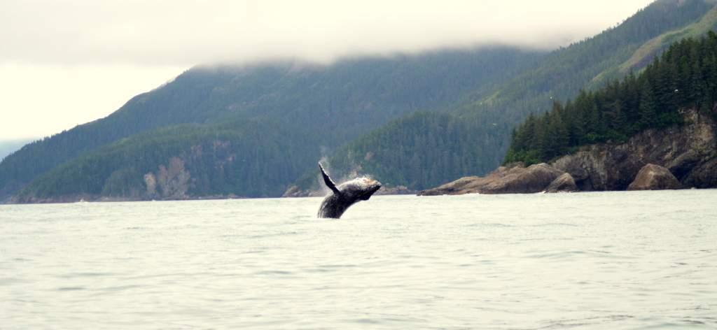 1-Whale-Breach