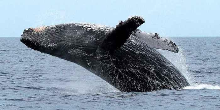 Humpback whale Seward alaska