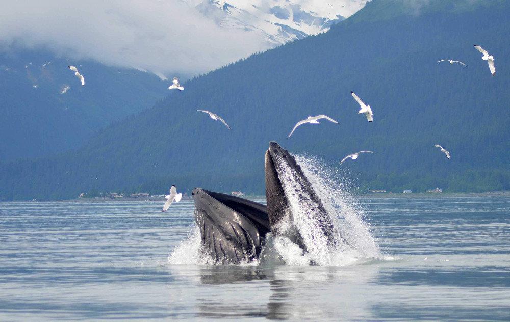 Whale Watching in Seward