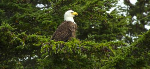 1-Kenai Fjords Eagle