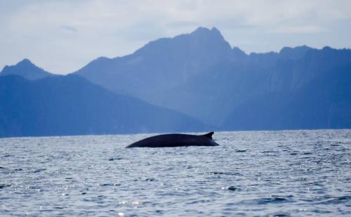 fin-whale